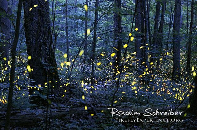 Schreiber-synchronous-fireflies-elkmont-1058341