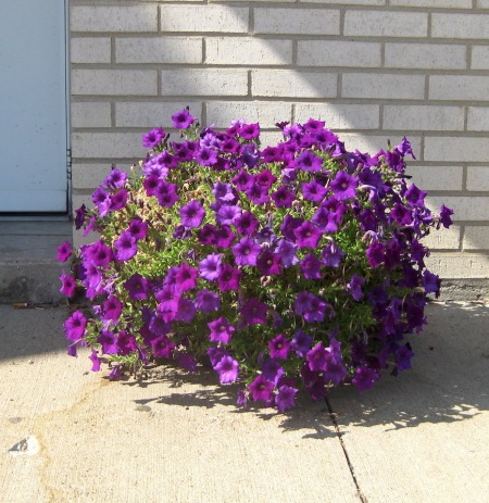 potted purple petunias