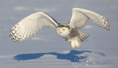 A white owl hunting in and out of the snow helps Mary Oliver
